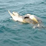 2 schildkröten vereint im meer