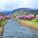 河津川の両側に桜並木が続いています
