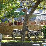 Zebra grazing on the lawns, just below the pool area