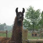 One of the Resident Llamas
