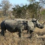 Rhinos near Gomo Gomo