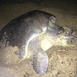 Mama Turtle laying her eggs