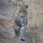 stalking an impala