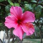 One of the beautiful hibiscus plants outside of our room