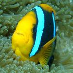 diving with clown fish