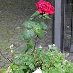Hildegaard von Bingen Rose