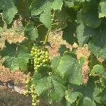 Young Grapes - Blenheim