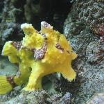 Frogfish. 3inch length. Taken in front of Hale Manna Resort, Moalboal, Cebu at 5 meters depth.