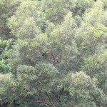 Formosan Koa Tree