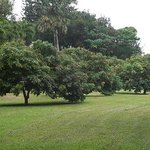 Lychee trees in the orchard.