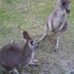kangaroos outside the cabin