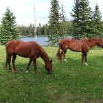 The horses grazing around the lodge