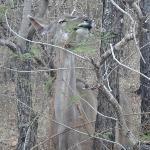 Antilope en la puerta de la cabaña