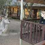 "Wife meets ""Cyclops"", the Kudu"