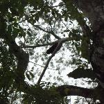 kind of hard to see, but there's a howler monkey right in the center!