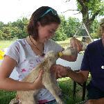 Feeding a goat.