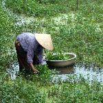 Picking Water Asparigas