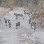 African Painted Dogs--very rare