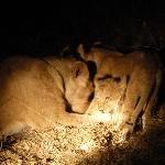lion cubs after dark