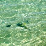 Playa Blanca beach - Puffer Fish in clear blue water. Amazing!