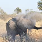Elephant dusting itself