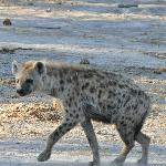 our friend the hyena