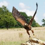 Falconry with Nigel Hawkins