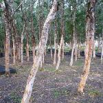 arbres papyrus