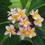 les fleurs de frangipanier