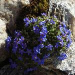 Noch im August findet man hier auf dem Gornergrat diese schönen Bergblumen.