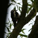 Woodpecker looking for food