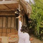 A resident lemur