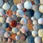 bunte Jakobsmuscheln am Strand