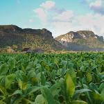 Plantaciones Tabaco Viñales