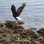 Bald Eagle getting salmon out the back of the B&B