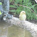 a little visitor to the bird bath