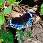 Butterfly in the garden (Hypolimnas aliment lamina, blue-banded eggfly, male)