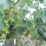 Vineyards in the Arizona high desert