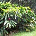 Ginoza Ginger family plant.