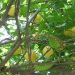 One of the lemon trees