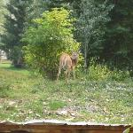 Deer grazing on lodge grounds