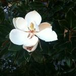 Magnolia near entrance. A staff member offered to let us take a flower...very nice!
