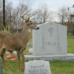 Friendly buck at Forest Lawn