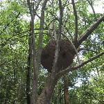 Closer look at hornet's nest!