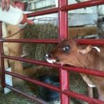 Rusty the calf