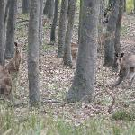 Kangaroos at Hill Top