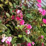 roses at entrance of Dockside restaurant