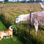 Fred the dog meeting the Llamas