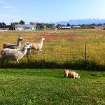 More Llama Neighbors