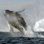A Humpback Whale Breaches near Tofino
